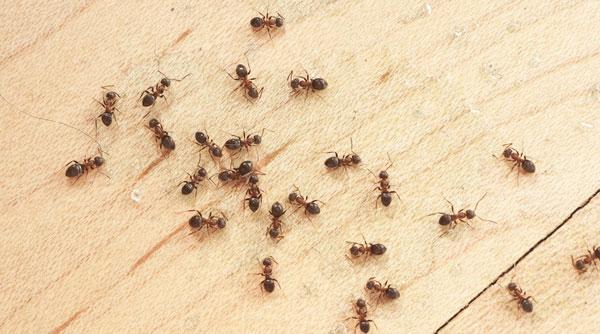 دفع مورچه از خانه